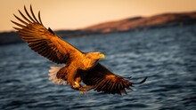 Norwegian White-tailed Eagle (Haliaeetus Albicilla) Flying In Sunset Golden Hour With  Fish And Negative Space