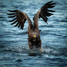 Norwegian White-tailed Eagle (Haliaeetus Albicilla) Catching Fish