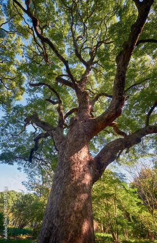 Vászonkép Cinnamomum camphora  tree in the Imperial Palace garden