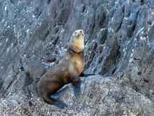 California Sea Lion (Zalophus Californianus), With Fishing Net Around Its Neck, Isla San Pedro Martir, Baja California, Mexico, North America
