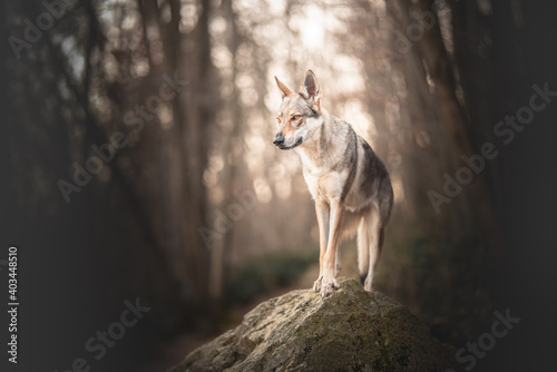 Fototapeta premium Portrait of a wolf dog on a rock in a forest in winter time, hiking, adventure, wild