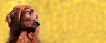 Head Of A Cute Happy Irish Setter Pet Dog Puppy As Looking On A Yellow Background. Web Banner.