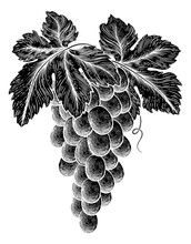 A Bunch Of Grapes On Vine With Leaves In A Woodcut Etching Style