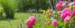 Leinwandbild Motiv wunderschöne Rosen durchmischt mit Lavendel in einem gepflegten Garten (Bella Rosa)