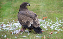Immature Bald Eagle With Remains Of A Seagull On Green Grass