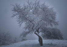 Snow-covered Tree In The Fog