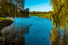 Ducks Swimming On The River Stour In Sudbury, Suffolk In Autumn Sunshine