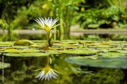 Obraz na plátně water lily in the pond