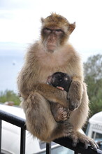 Female Monkey Protects Baby And Looking Alert And Strictly Into Camera. Mother Monkey Sits On Fence And Embracing Cute Sleeping Ape Baby With Black Fur Head. Barbary Macaque Family Of Gibraltar