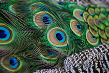 Colorful Peacocks Feathers On His Tail