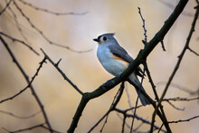 Tufted Titmouse-6482