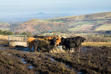 Herd Of Cows In A Field In The Shropshire Hills, UK