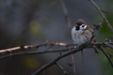 A Sparrow Sits And Freezes In Autumn On A Branch
