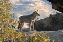 Wild Coyote In Early Morning Light At Santa Susana Pass State Historic Park Near Los Angeles And Simi Valley In Southern California.