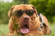 Perro Dogo De Burdeos Con Gafas De Sol En Jardín.