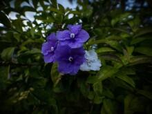 Closeup Macro Of Purple Brunfelsia Uniflora Franciscea Pauciflore Nightshades Flower In Guatape Colombia South America