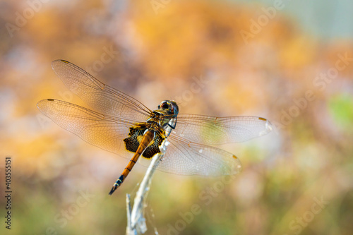 Canvas Print Closeup of a dragonfly on a twig at Dripstone Beach, Darwin.
