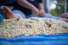 Pile Sun Dried Corn Kernels On Blue Canvas With Farmer Prepping In Background