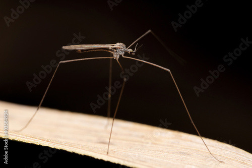 Fototapeta premium Cranefly, Tipula paludosa, Satara, Maharashtra, India