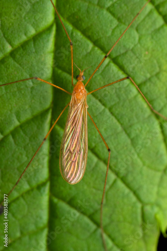 Fototapeta premium Dorsal of Orange crane fly, Nephrotoma appendiculata, Pune, Maharashtra, India