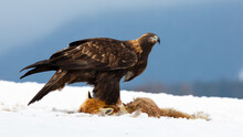 Golden Eagle, Aquila Chrysaetos, Standing On Snow In Wintertime Nature. Brown Wild Bird Looking Near To Killed Fox On White Meadow. Dark Animal Observing Next To Dead Prey.