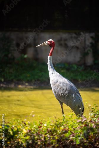 Fototapeta premium Eastern Sarus Crane (Antigone antigone sharpii), wild bird in wildlife nature field