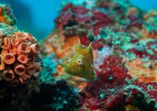 Yellow Longhorn Cowfish Pufferfish Close Up Seychelles Indian Ocean