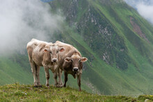 Two Alpine Cows Looking Straight Into The Lens On A Field Of Wildflowers In The Scenic Mountains In The Alps Of Austria