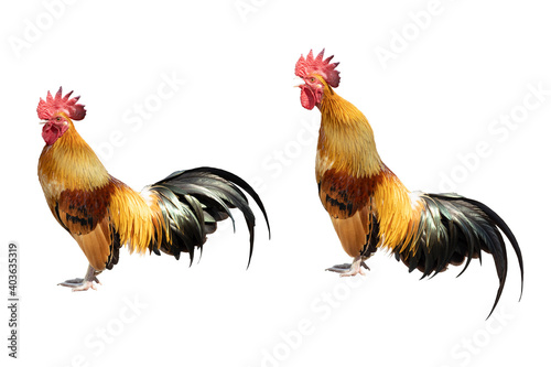 Leinwand Poster Bantam rooster chicken cock or hen standing and crowing posture isolated on whit