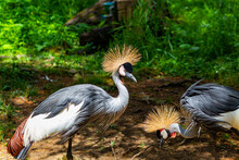 A Pair Of Black Crowned Cranes. One Is Feeding, Standing On One Leg. The Other Is Also Standing On One Leg But Its Keeping A Look Out.