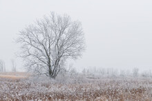 Lone Oak Tree On The Prairie Of Illinois On A Cold, Foggy Winter Morning