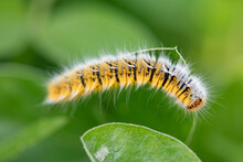 Oak Eggar Catterpillar Eating Plant. Close Up Yellow Catterpillar. Details In Nature. Nature Background