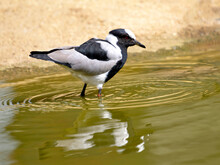 Blacksmith Lapwing (Vanellus Armatus) In Water