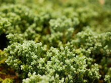 Selective Focus Of Green Fresh Clump Of Mosses, Small Non-vascular Flowerless Plants, Planted For Decoration / Beauty On The Ground