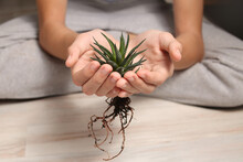 Home Plant Succulent Haworthia Close-up In Hands. Striped, Botanical Look. Flora For Planting In A Pot. Small Alloe Process. Twig. Zebra Cactus. Transplanting Flowers.