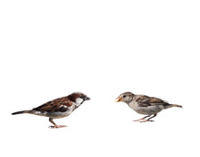 Two Sparrows, Isolated On White Background
