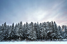 Snow-covered Fir Trees In The Winter Forest Of The Russian Taiga Against The Background Of The Sky In The Colors Of The Sunset.