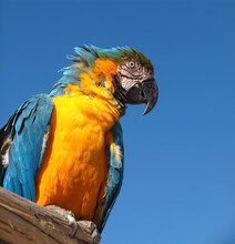 Macro Of A Wild Macaw Parrot In Front Of Blue Sky