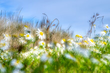 Rural Landscape With Daisies