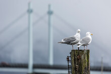 Two Gulls Stand Atop A Post With A Bridge In The Background.