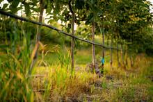 Apples Grow On Apple Trees. Apple Leaves Big Apples Apple Garden. Drip Irrigation Of The Garden