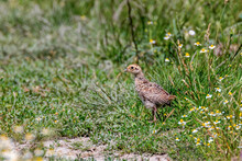 Pheasant Chick In A Field Of Grass (Phasianus Colchicus)