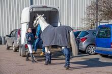 Auto Trailer For Transportation Of Horses . Transportation Livestock . Horse Ready To Go In Van .