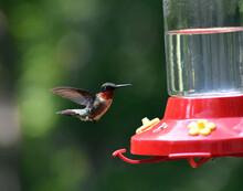 North Carolina Ruby Throated Hummingbird By Feeder