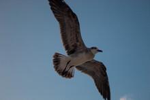 Una Gaviota Volando En El Cielo Con Sus Alas Extendidas