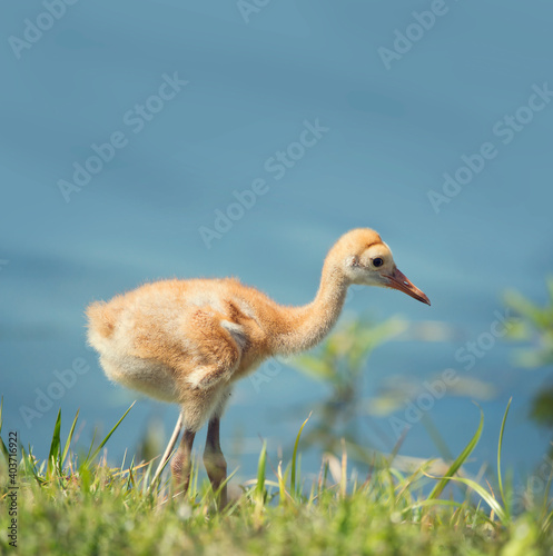 Fototapeta premium Sandhill Crane Chick in the grass