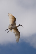 Ibis Flying Through The Air With Wings Spread Out