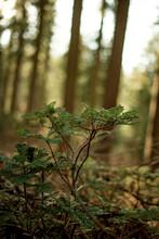 Mariposa Sequoia Sapling