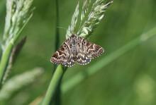 Scheck-Tageule - Mother Shipton Moth