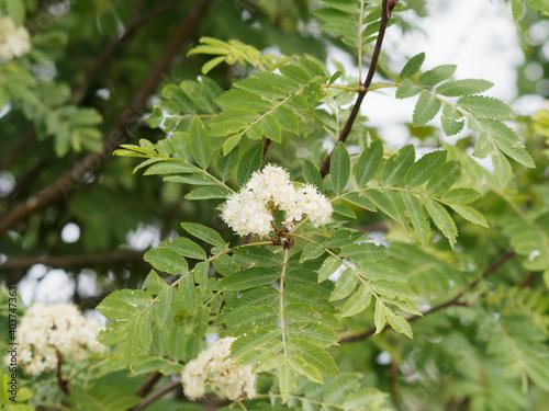 Tela Sorbus aucuparia / Sorbier des oiseleurs ou sorbier des oiseaux, arbre aux grapp